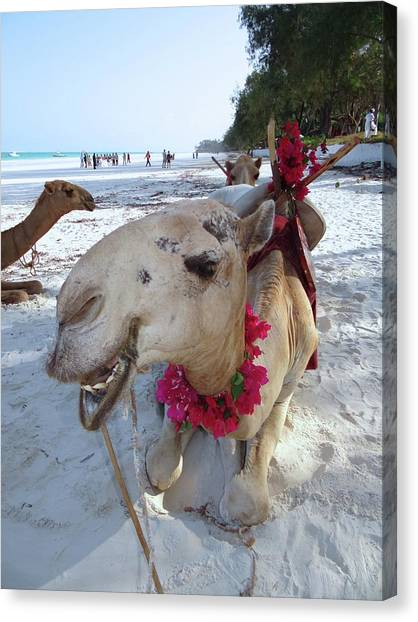 Exploramum Canvas Print - Camel On Beach Kenya Wedding3 by Exploramum Exploramum