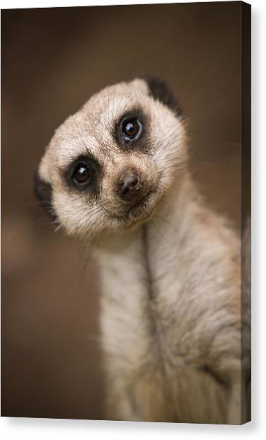 Meerkats Canvas Print - Can I Help You by Ryan Heffron