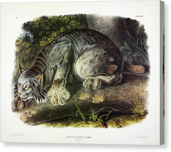 Florida Panthers Canvas Print - Canada Lynx by John James Audubon