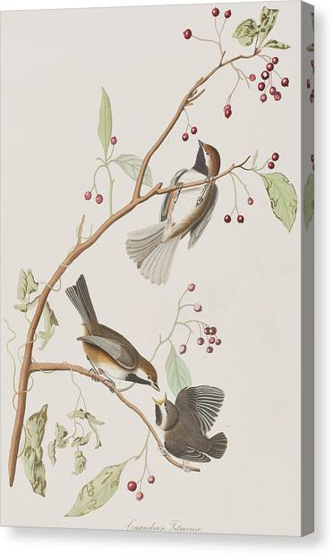 Titmouse Canvas Print - Canadian Titmouse by John James Audubon