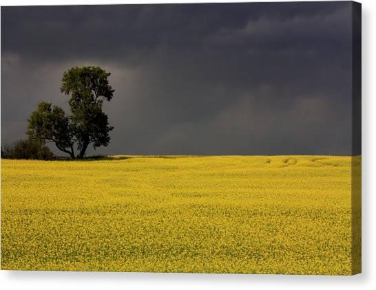 Canola Storm Canvas Print
