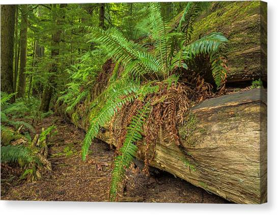 Cathedral Grove Canvas Print