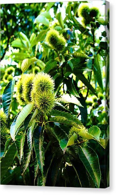 Chestnut Tree Canvas Print by Michael C Crane