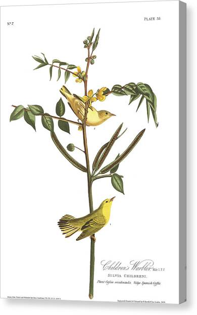 Warbler Canvas Print - Children's Warbler by John James Audubon