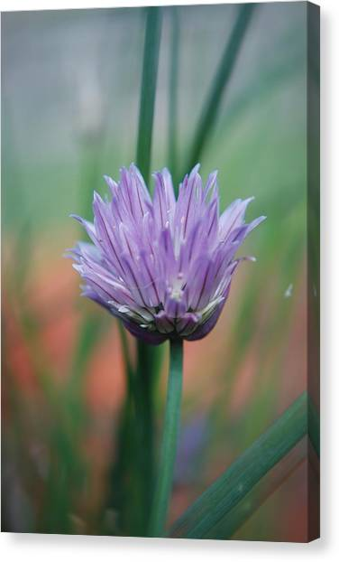 Chive Flower  Canvas Print by Lisa Gabrius
