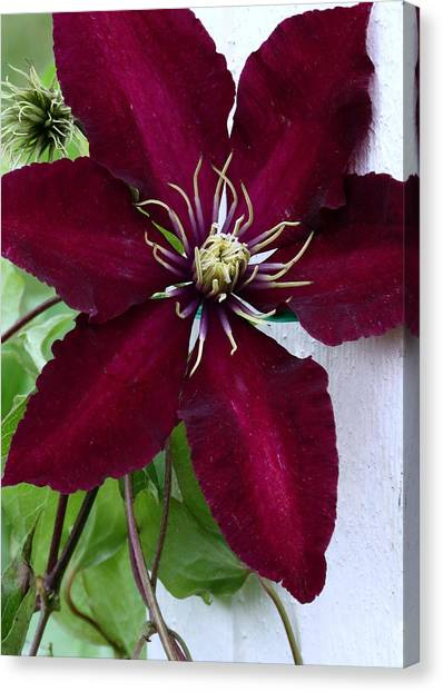 Clematis Canvas Print by Janice Drew