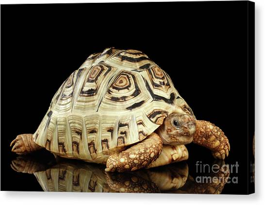 Reptiles Canvas Print - Closeup Leopard Tortoise Albino,stigmochelys Pardalis Turtle With White Shell On Isolated Black Back by Sergey Taran