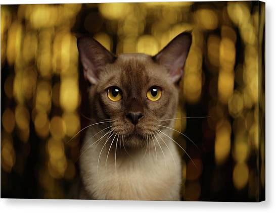 Closeup Portrait Burmese Cat On Happy New Year Background Canvas Print