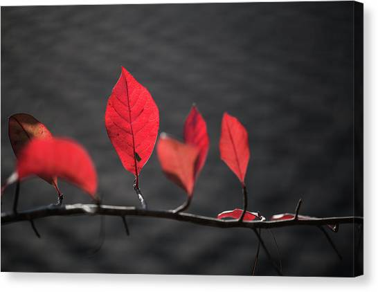 Colorful Tree Leaves Changing Color For Auyumn,fall Season In Oc Canvas Print