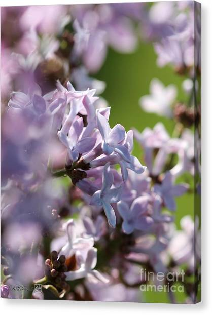 Common Purple Lilac Canvas Print