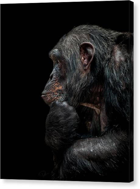 Primates Canvas Print - Contemplation  by Paul Neville