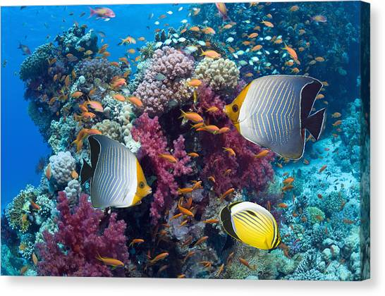 Coral Reefs Canvas Print - Coral Reef Scenery With Fish by Georgette Douwma