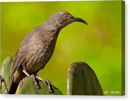 Curve-billed Thrasher On A Prickly Pear Cactus Canvas Print