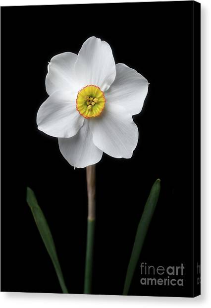 Daffodil 'cantabile' Canvas Print