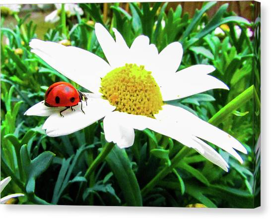 Ladybugs Canvas Print - Daisy Flower And Ladybug by Cesar Vieira