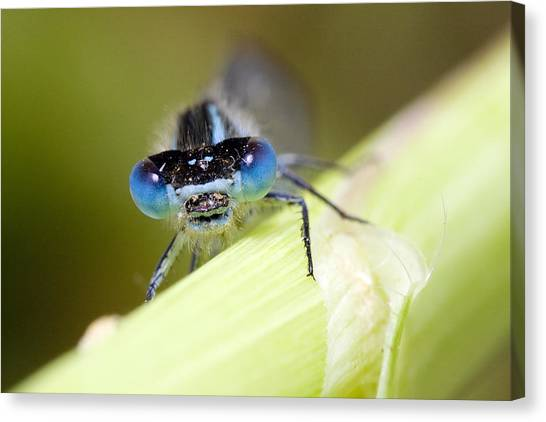 Damselfly Canvas Print by Andre Goncalves