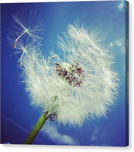 White Canvas Print - Dandelion And Blue Sky by Matthias Hauser