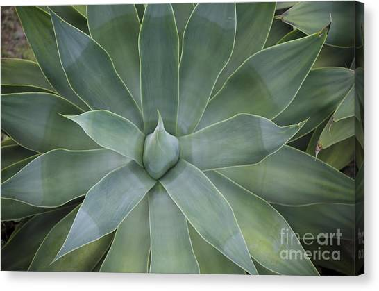 Detail Of An Agave Attenuata Canvas Print