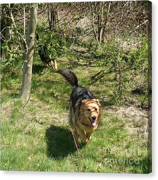Gsd Canvas Print - #dogs #gsd #germanshepherd by Abbie Shores
