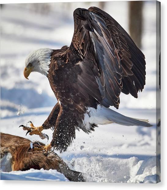Eagle In Flight Canvas Print - Eagle Landing by Paul Freidlund