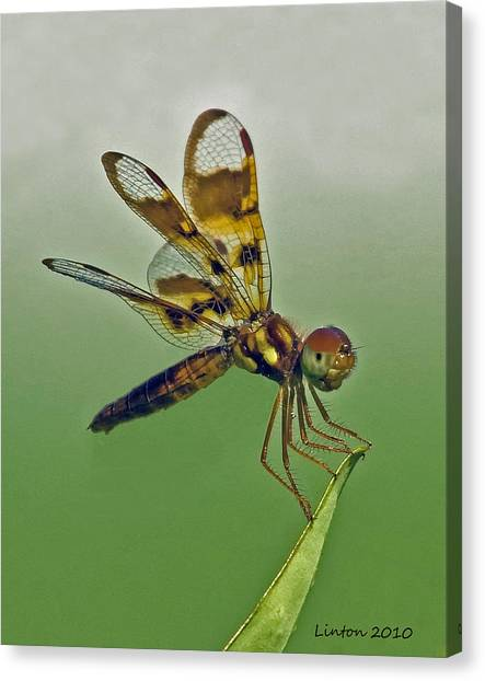 Eastern Amberwing Dragonfly Canvas Print by Larry Linton