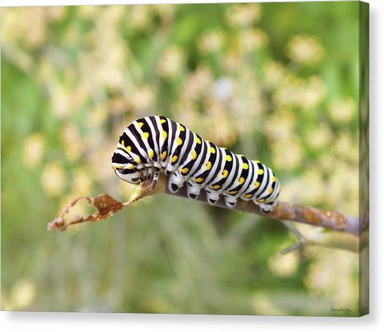 Eastern Black Swallowtail Caterpillar  Canvas Print