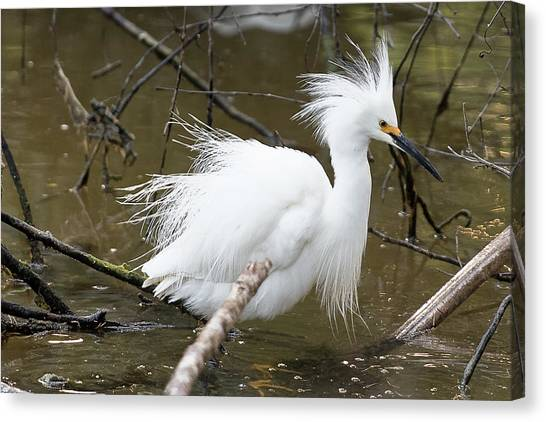 Egret Bath Canvas Print