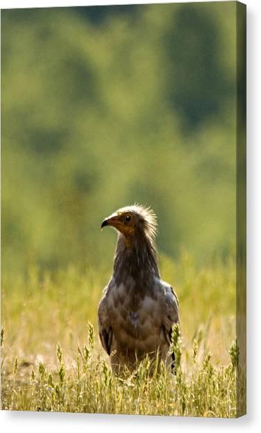 Egyptain Vulture  Canvas Print