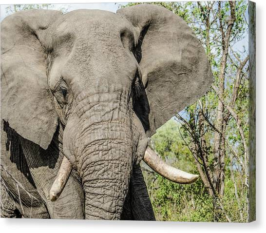 Canvas Print featuring the photograph Elephant In Manyeleti Game Reserve by Rob Huntley