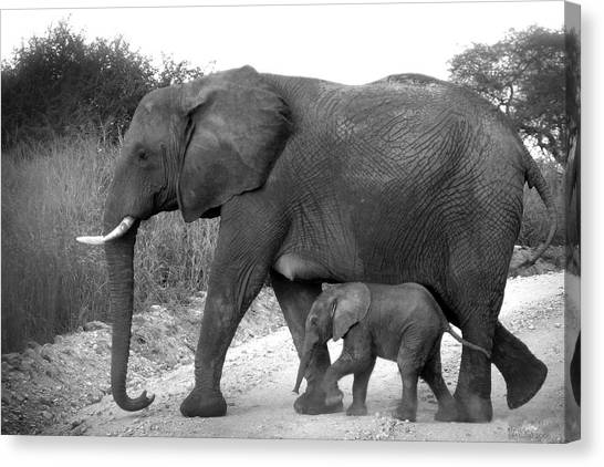 Elephant Walk Black And White  Canvas Print