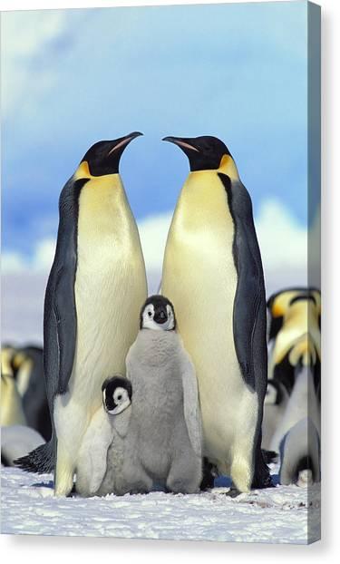 Aptenodytes Forsteri Canvas Print - Emperor Penguin Aptenodytes Forsteri by Konrad Wothe