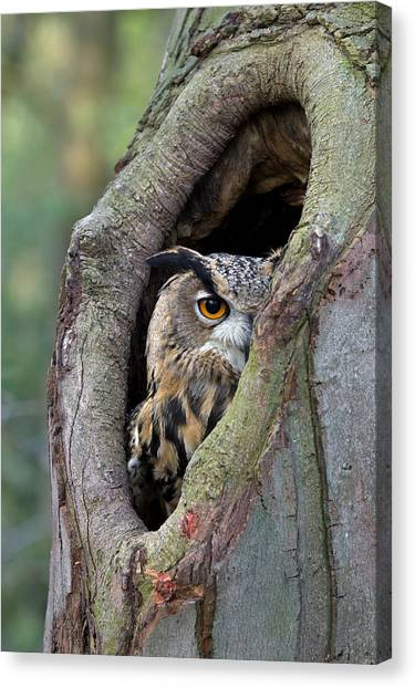 Cavity Canvas Print - Eurasian Eagle-owl Bubo Bubo Looking by Rob Reijnen