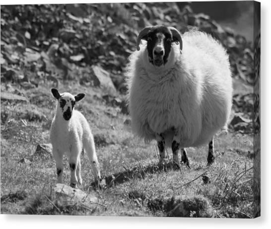 Ewe And Lamb No2 Canvas Print by John Cox