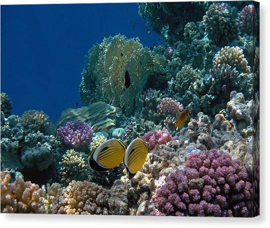 Exquisite Butterflyfish In The Red Sea Canvas Print