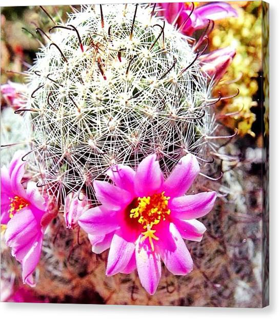 Sonoran Desert Canvas Print - Cactus Blossom by Laurie Gresch