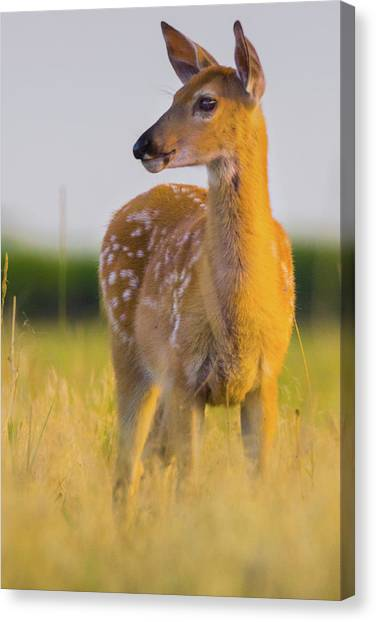 Canvas Print featuring the photograph Fawn In Sunlight by John De Bord