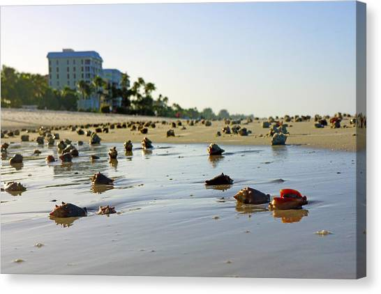 Fighting Conchs On The Beach In Naples, Fl Canvas Print