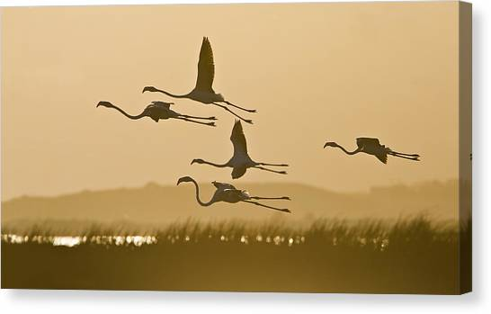 Flamingo Flight Canvas Print by Basie Van Zyl