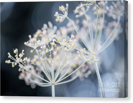 Canvas Print featuring the photograph Flowering Dill Clusters by Elena Elisseeva