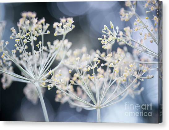 Canvas Print featuring the photograph Flowering Dill by Elena Elisseeva