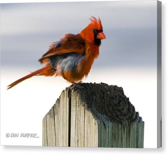 Canvas Print - Fluffing by Don Durfee