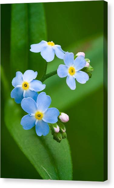 Forget-me-not Canvas Print by Yuri Peress