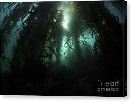 Kelp Forest Canvas Print - Giant Kelp Macrocystis Pyrifera Grows by Ethan Daniels
