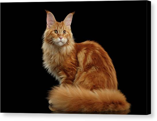Cat Canvas Print - Ginger Maine Coon Cat Isolated On Black Background by Sergey Taran