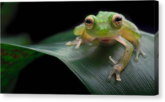glass frog Amazon forest Canvas Print