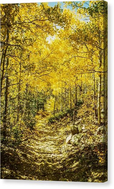Golden Aspens In Colorado Mountains Canvas Print