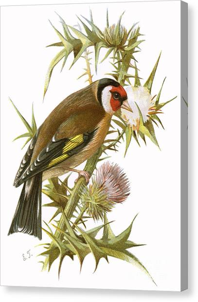 Finches Canvas Print - Goldfinch by English School