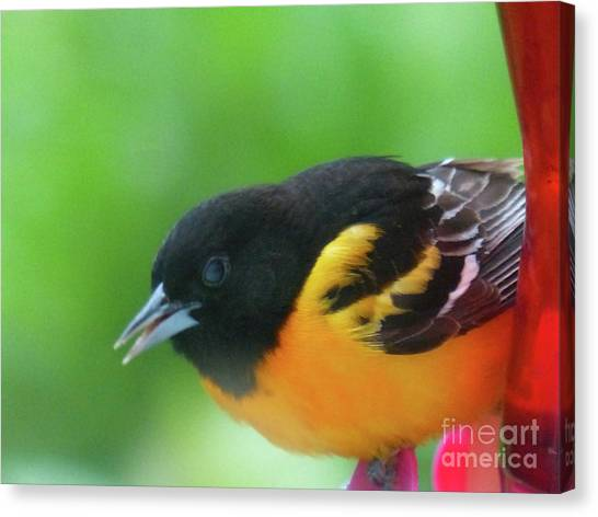 Good Morning Mr. Oriole Canvas Print