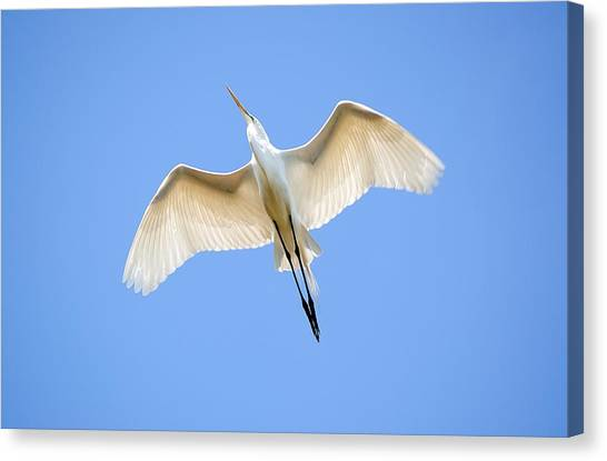 Great Egret In Flight Canvas Print