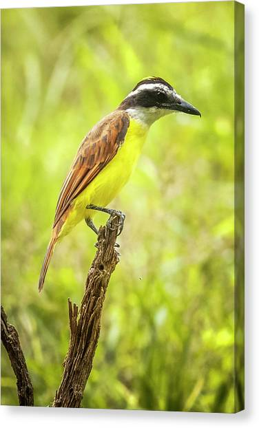 Great Kiskadee Panaca Quimbaya Colombia Canvas Print